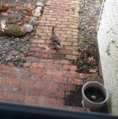 Two ducks waiting outside the front door near the duck egg.