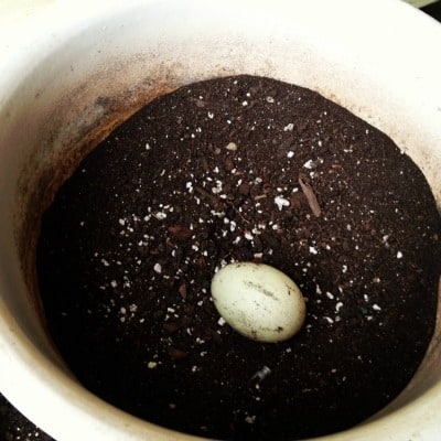 Close-up of duck egg in flower pot.