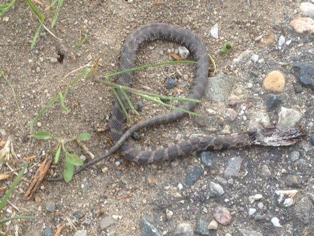 A close up of a snake.