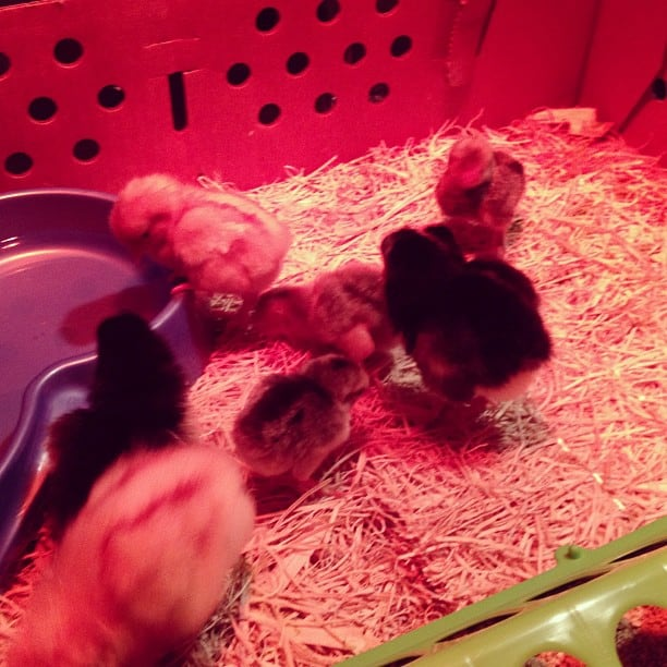 A group of baby chicks under a heat lamp.