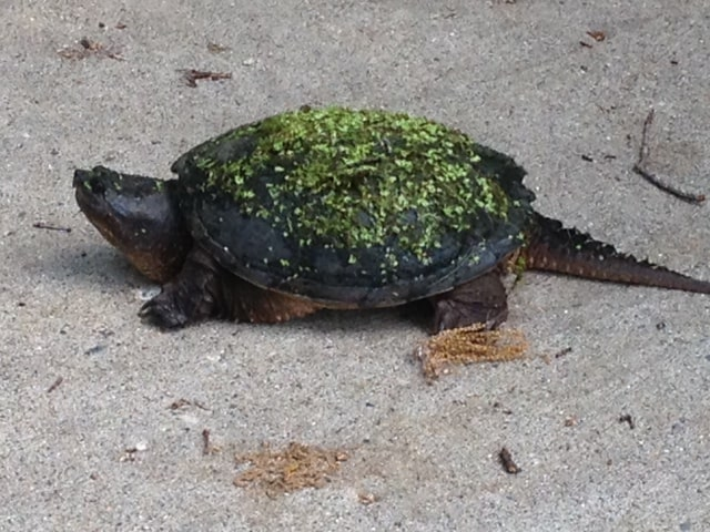 A turtle trying to walk across the road.