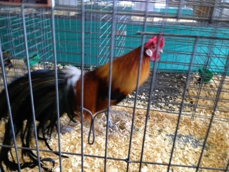 A chicken standing in a cage