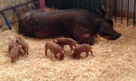 A large momma pig and her piglets.