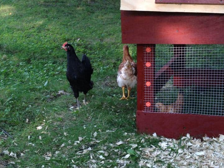 Several chickens scattered inside and outside of the chicken coop.