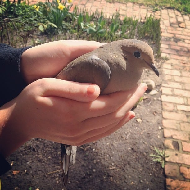A calm dove in a lady\'s hands.
