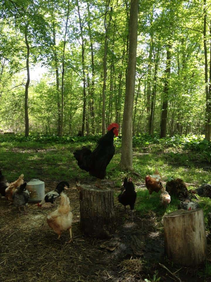 A chicken standing on a tree stump in a forest