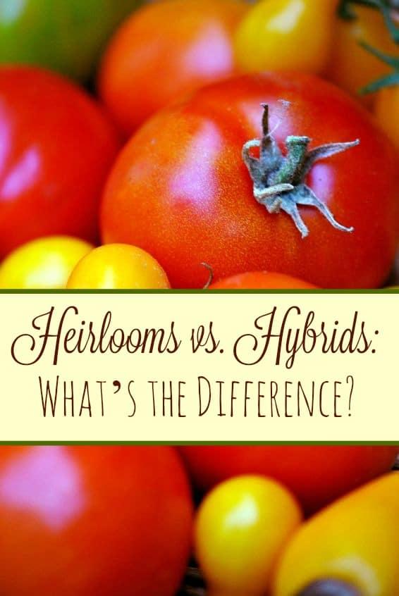 Heirlooms vs Hybrids