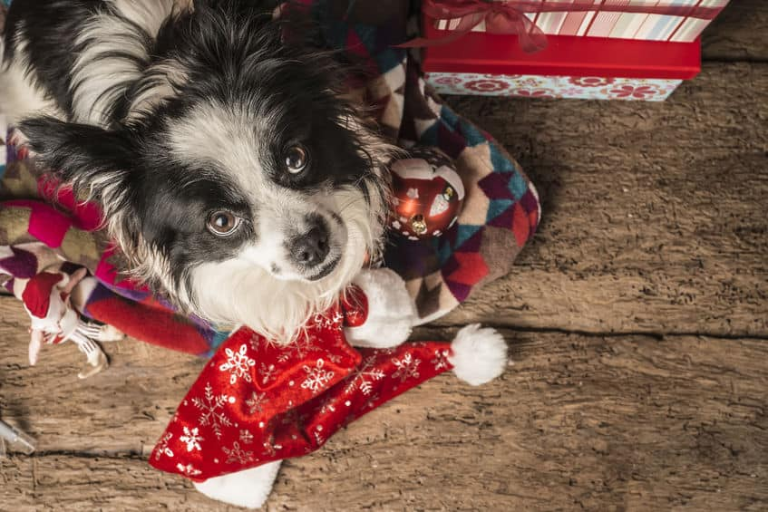 48324145 - christmas postcards, pet with santa hat on wooden floor