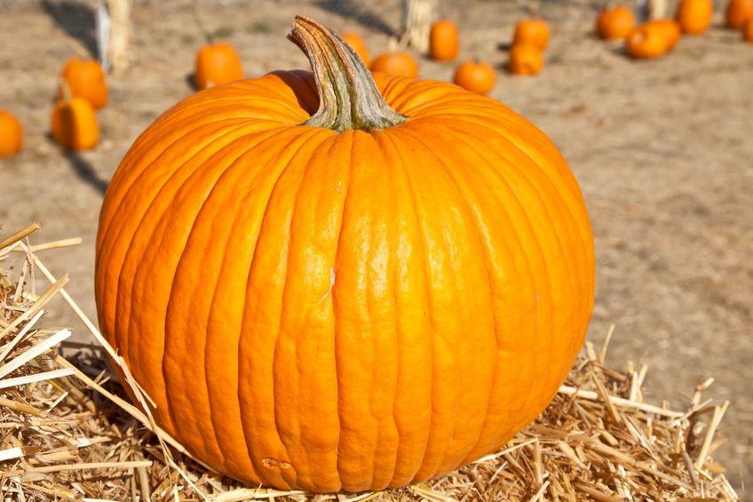 A giant pumpkin in a pumpkin patch.