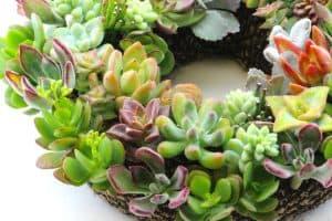 Living Succulent Wreath Sale