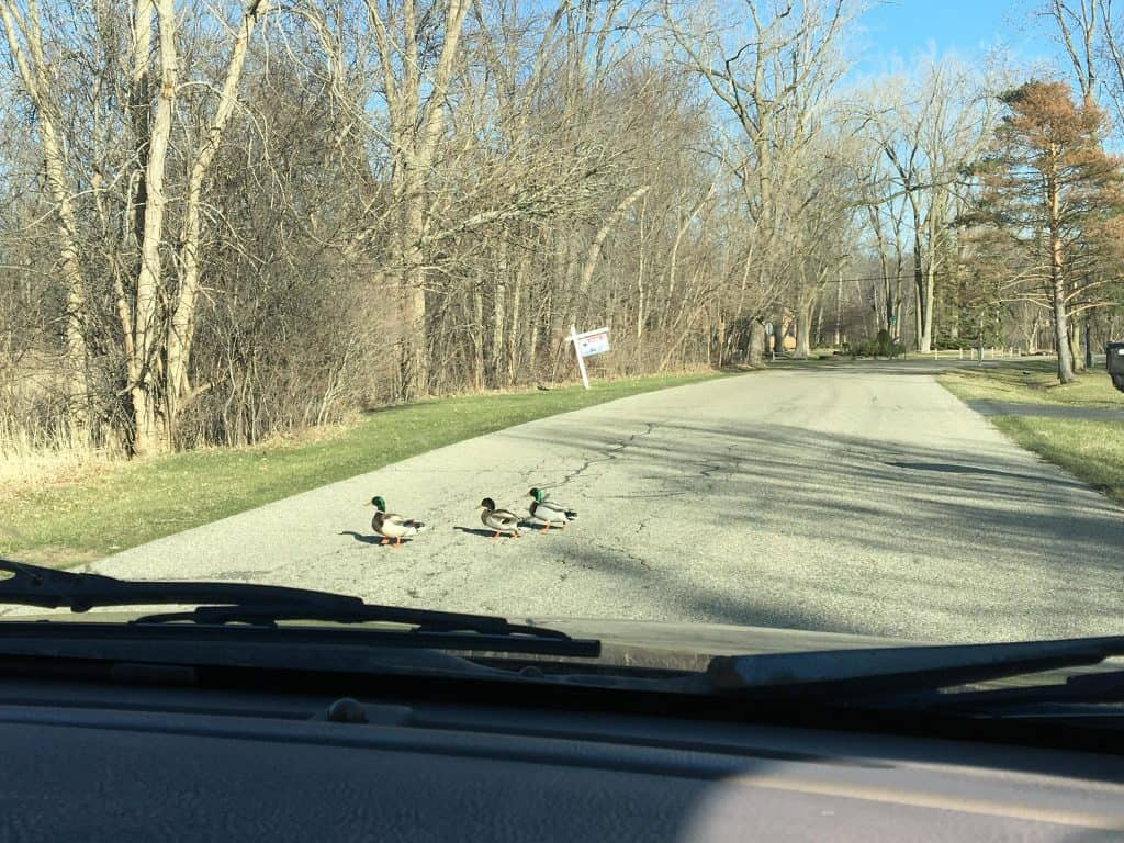 A couple of ducks crossing the road.