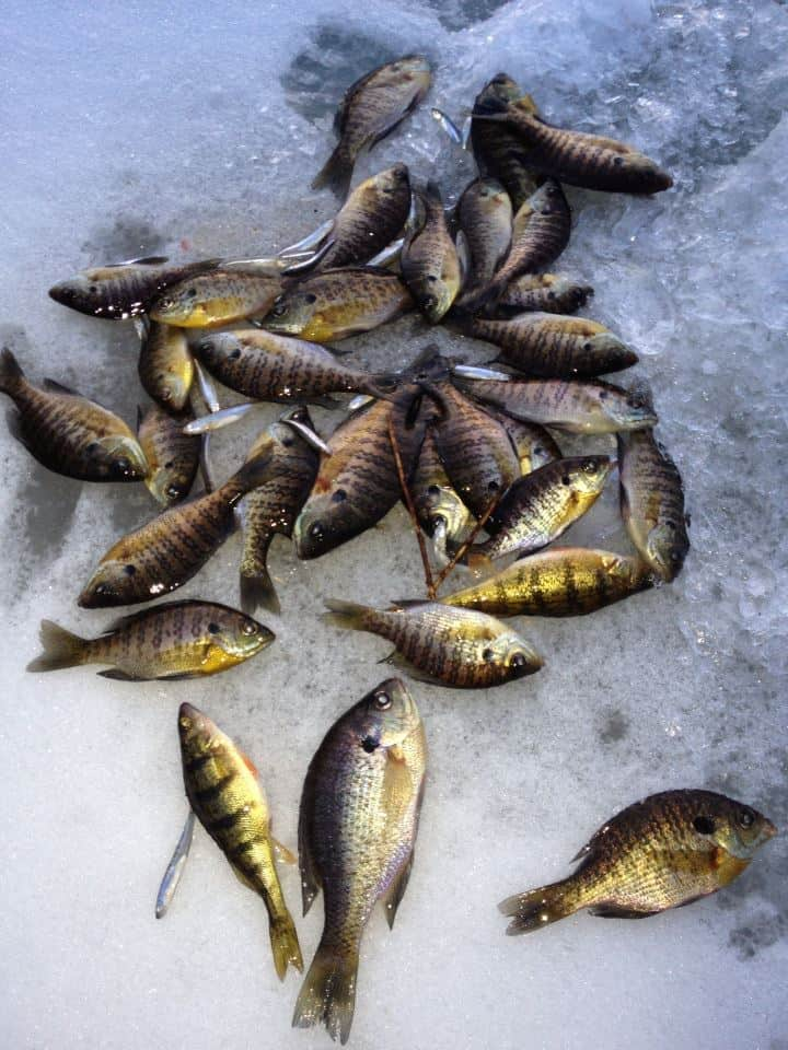 A group of fish on ice.
