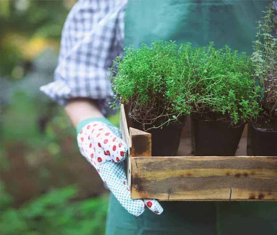 How to grow more in your garden by using succession planting.