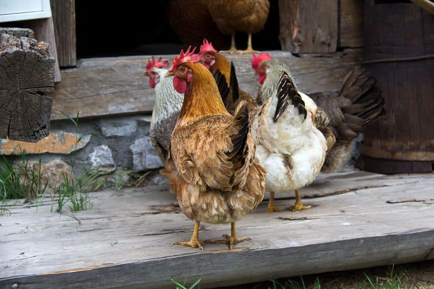 Chickens on their coop. The history behind homesteading and how to start.