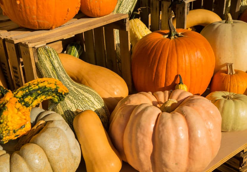 Different varieties of garden squash including several types of pumpkins.