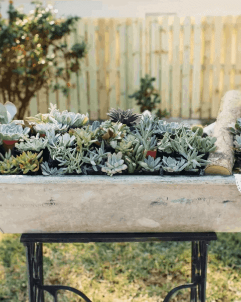 20 Pack of Succulents for Sale