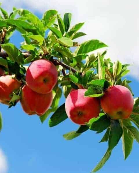 apples hanging from an apple tree