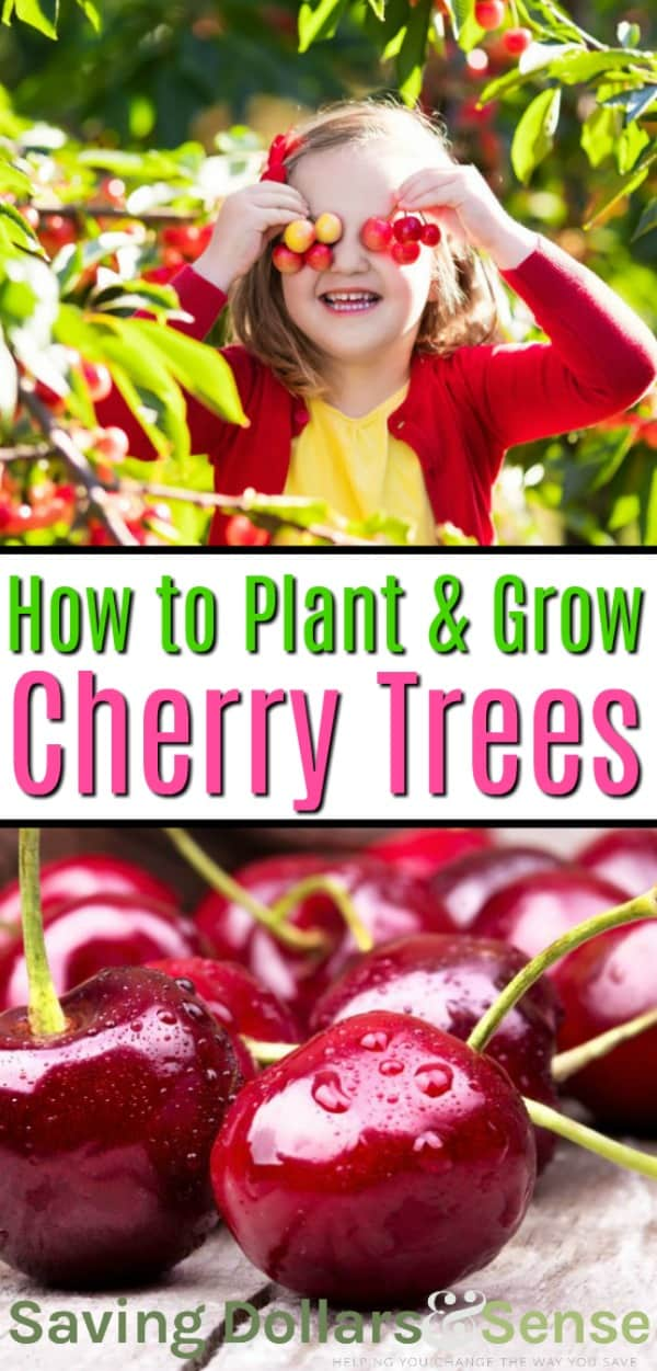 how to plant a cherry tree