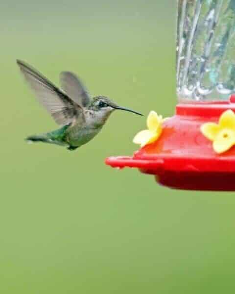 hummingbird flying near a hummingbird feeder to eat the nectar