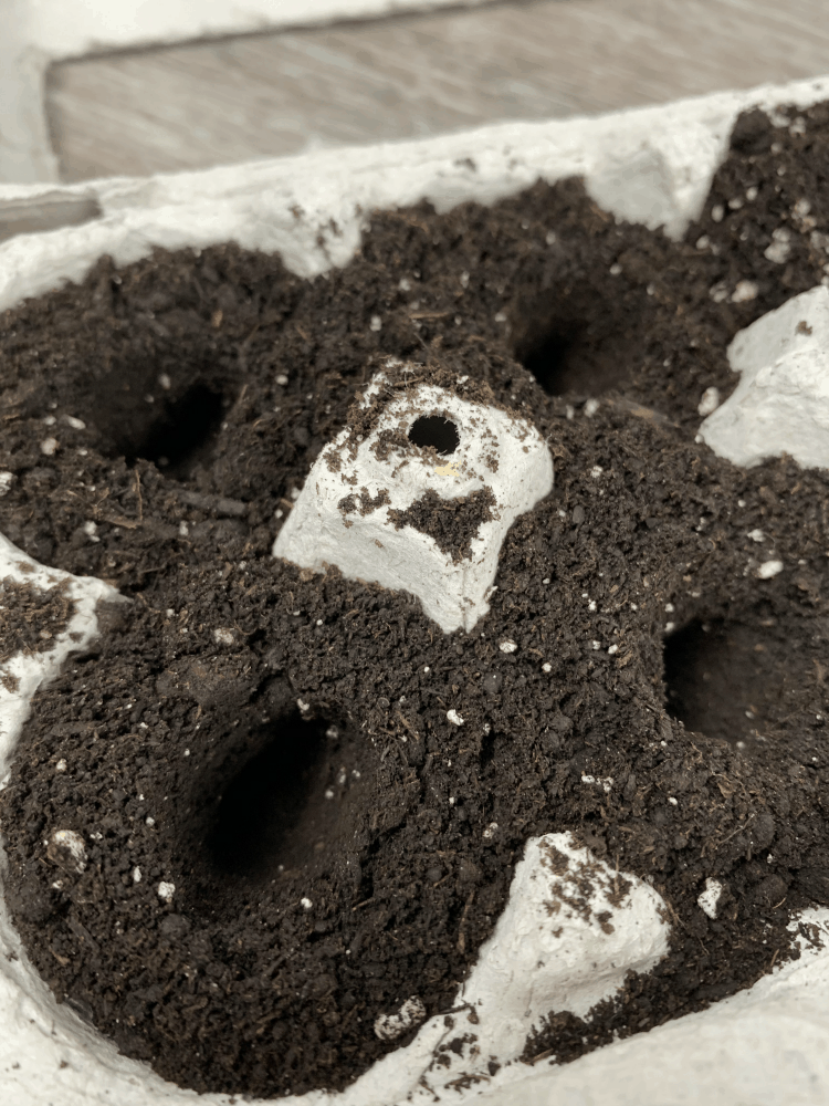Put 1-2 seeds per cell in the egg carton.