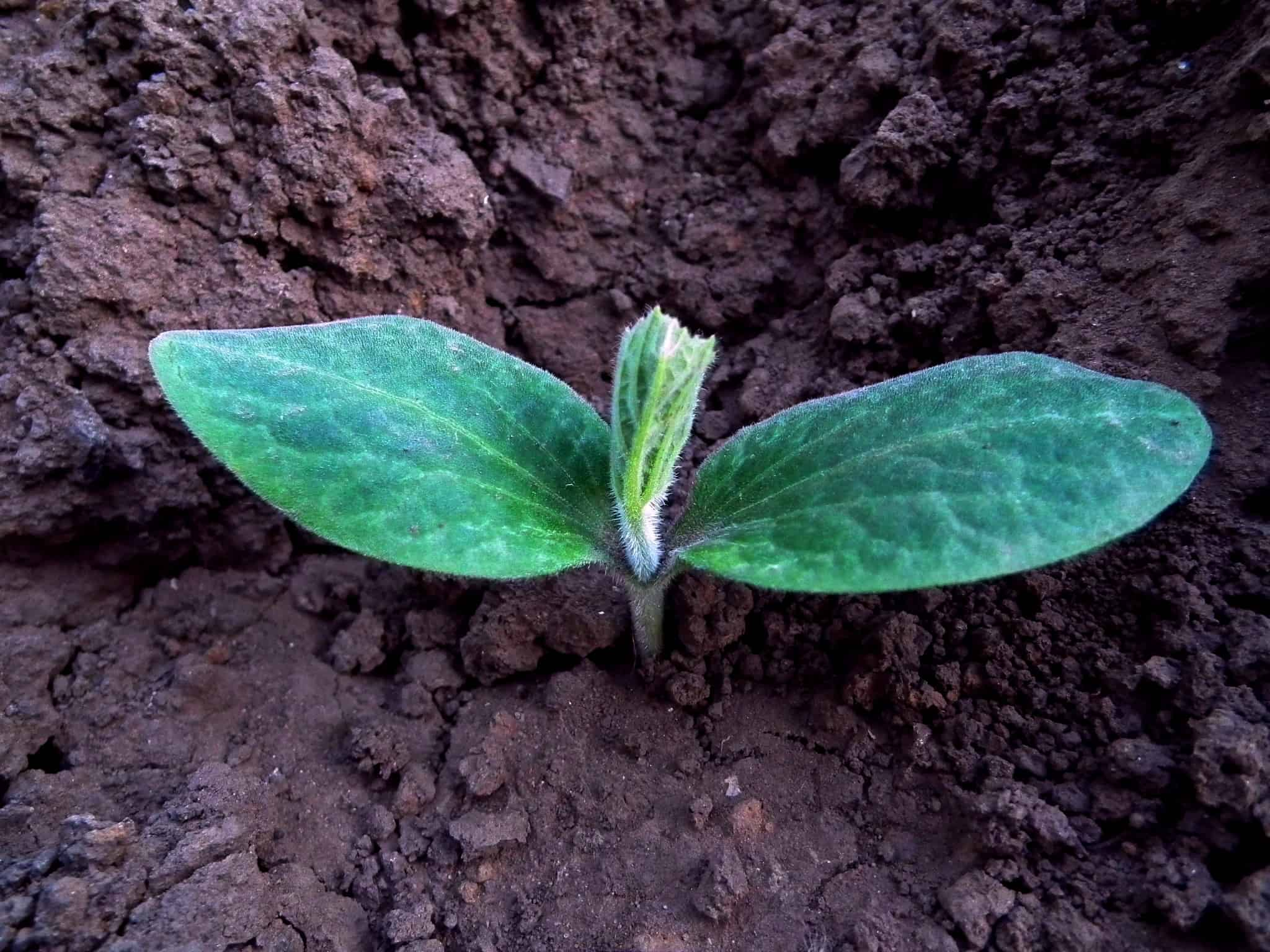 Pumpkin seedling sprouting out of the dirt.