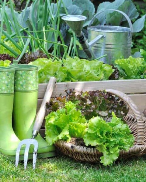 Lettuce in a basket placed near a vegetable patch with spade in a garden.
