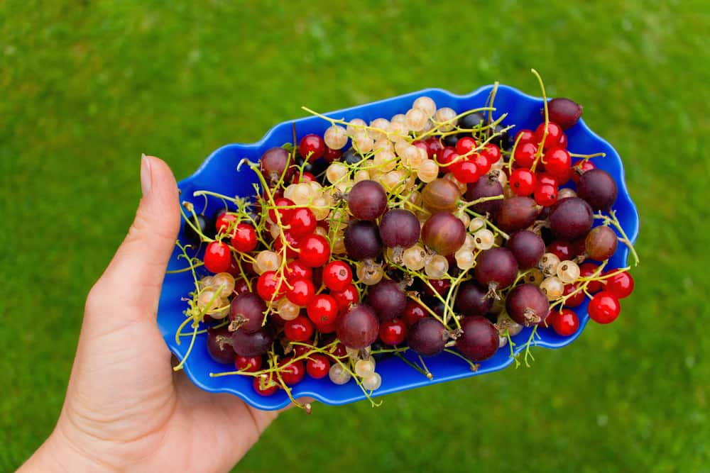 Crop in the garden. Picked gorgeous berries in a blue bowl.