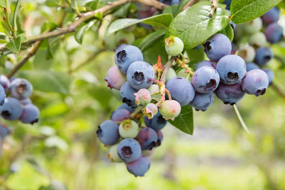 Bush of blueberries.