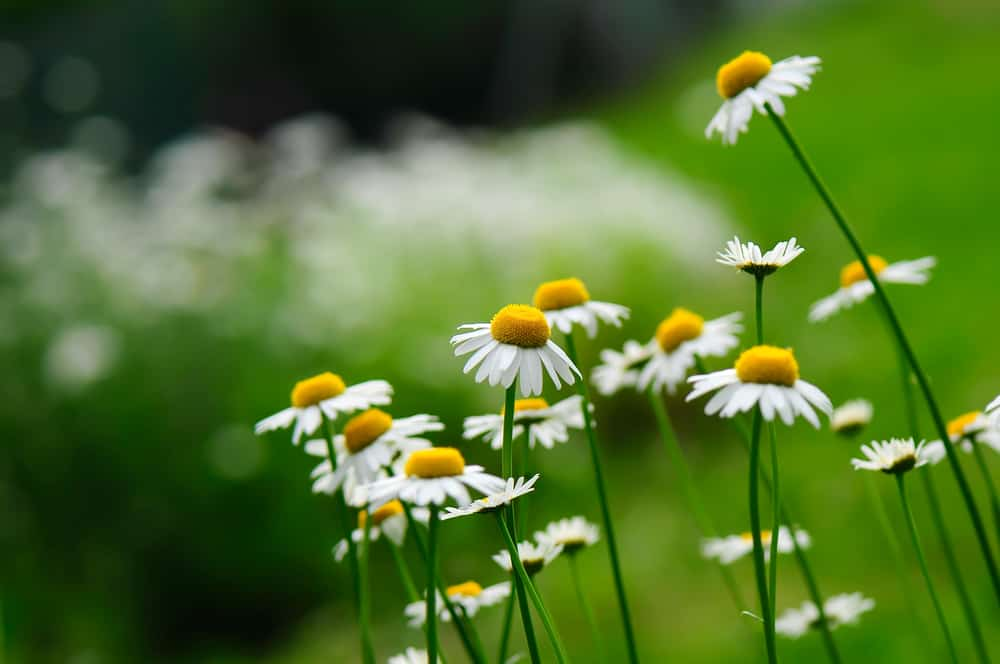 German Chamomile flowers growing