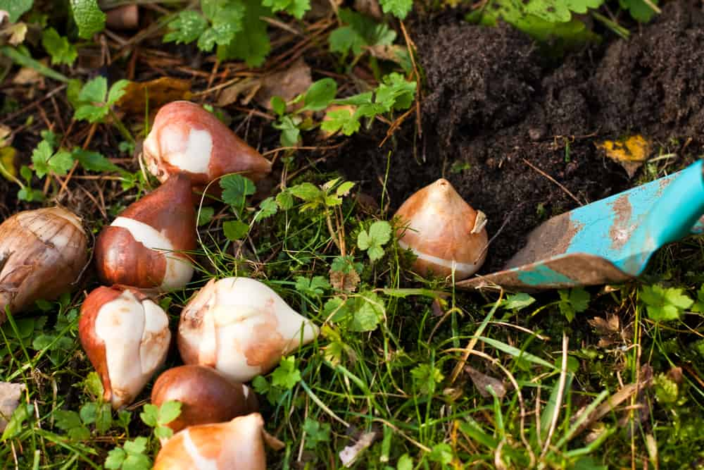 several flower bulbs being dug up out of the ground.