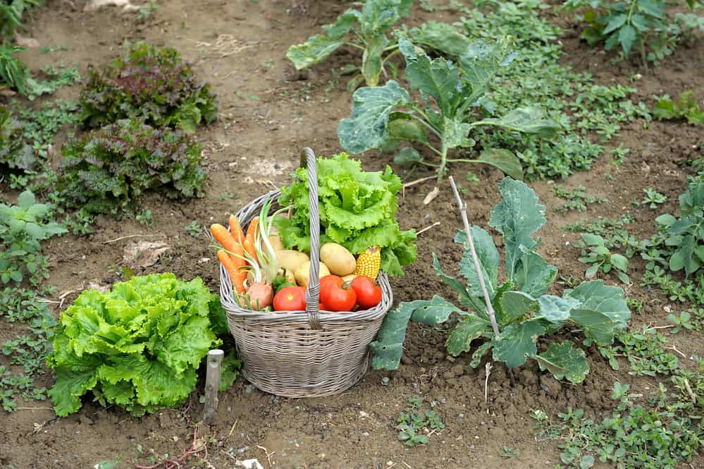 Picking of vegetables in the garden